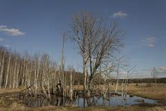 Большое дерево стоя в воде Стоковое фото RF