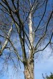 Большое дерево с голубым небом Стоковые Фото