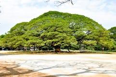 Большое дерево с свежим зеленым цветом выходит поле травы на небо захода солнца Стоковое Изображение RF