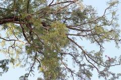 Большое дерево тамаринда в лесе Стоковые Изображения