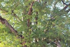 Большое дерево тамаринда в лесе Стоковая Фотография RF