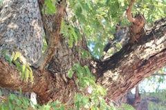 Большое дерево тамаринда в лесе Стоковые Фото