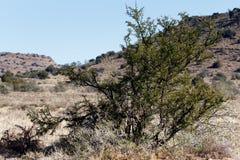 Большое дерево терния - ландшафт Cradock Стоковое фото RF