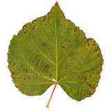 Большое дерево тополя лист Стоковая Фотография RF
