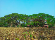 Большое дерево Стоковое Изображение RF