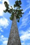 Большое дерево Стоковые Изображения RF