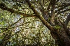 Большое дерево redwood секвойи Стоковое Изображение
