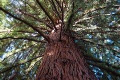 Большое дерево Redwood Стоковое Изображение RF