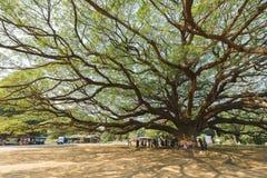 Большое дерево saman Samanea стоковые изображения rf