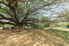Большое дерево saman Samanea стоковые изображения