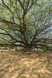 Большое дерево saman Samanea стоковое изображение