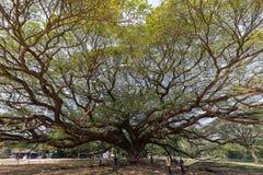 Большое дерево saman Samanea стоковая фотография rf