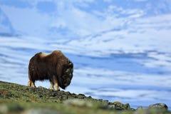 Большое животное в горе зимы Вол мускуса, moschatus Ovibos, с горой и идет снег на заднем плане, животное в привычке природы Стоковая Фотография RF