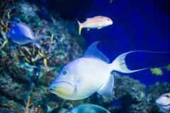 Большое заплывание в конце-вверх аквариума на предпосылке других рыб, Сингапур белых рыб Стоковое Фото