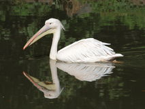 Большое заплывание пеликана стоковые фотографии rf