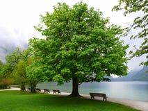 Большое зеленое дерево озером Стоковое фото RF
