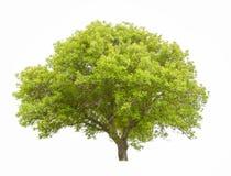 Большое зеленое дерево Стоковые Изображения
