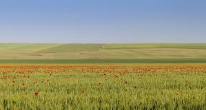 Большое зеленое поле с много разбросанными маками Стоковые Фото