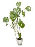 Большое комнатное растение, высокое дерево в баке Стоковые Фотографии RF