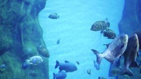 Большое количество заплыва рыб вокруг рифов Скуба в масках остров тропический акции видеоматериалы