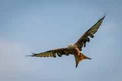 Большое красное летание змея с openend splayed крылами на голубом небе Стоковые Фото