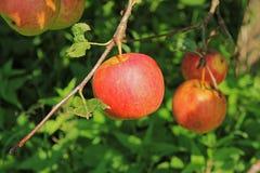 Большое красное яблоко Стоковое фото RF