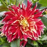 Большое красное foilage зеленого цвета цветка Стоковая Фотография