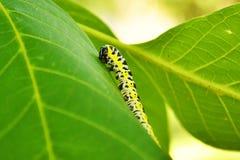 Большое насекомое гусеницы на лист Стоковое Изображение