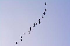 Большое образование летая баклана - carbo Phalacrocorax Стоковая Фотография
