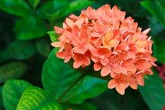Большое оранжевое ixora Стоковое Фото