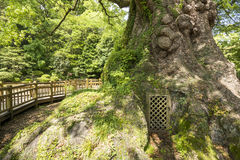 Большое основание дерева камфоры Стоковая Фотография RF