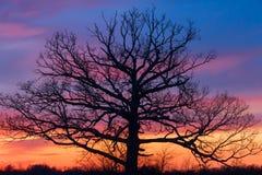 Большое оле дерево на заходе солнца Стоковая Фотография