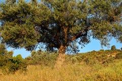 Большое оливковое дерево Стоковое Изображение