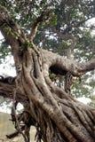 Большое переплетенное дерево стоковое изображение rf