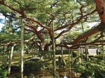 большое поддержанное дерево Kenroku-en стоковые изображения