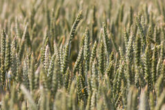 Большое поле вполне пшеницы Стоковое Фото