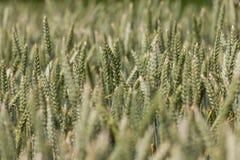 Большое поле вполне пшеницы Стоковая Фотография