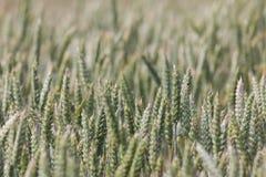 Большое поле вполне пшеницы Стоковая Фотография RF
