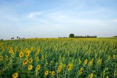 Большое поле солнцецвета Стоковые Фотографии RF