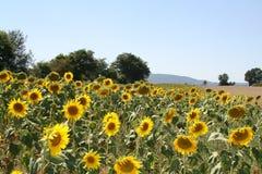 Большое поле солнцецветов на солнечный день стоковые фотографии rf
