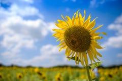 Большое поле цветка Солнця на солнечный день Стоковое Изображение RF