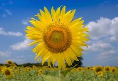 Большое поле цветка Солнця на солнечный день Стоковое фото RF
