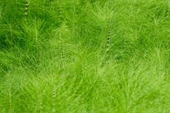 Большое поле horestail Стоковое фото RF