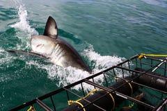 Большое подныривание белой акулы в воду Стоковое Изображение RF
