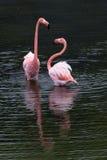 Большое положение фламинго 2 Стоковое Изображение