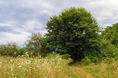 Большое распространяя дерево растя на луге Стоковое Фото