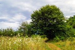 Большое распространяя дерево растя на луге Стоковая Фотография