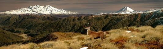 Большое рогач красных оленей Стоковое Изображение RF