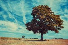 Большое сиротливое дерево стоковое фото rf