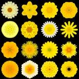 Большое собрание различных желтых цветков картины изолированных на черноте Стоковое фото RF